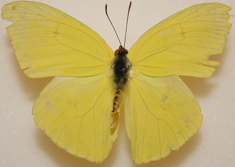800px Male Cloudless Sulphur Megan McCarty97