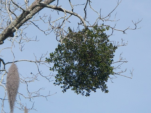 Mistletoe The Lowcountry Institute
